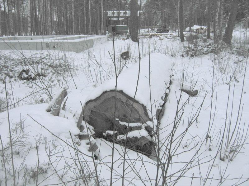 Спиленная сосна у фундамента коттеджа г-на Паромова возрастом не менее 80 лет